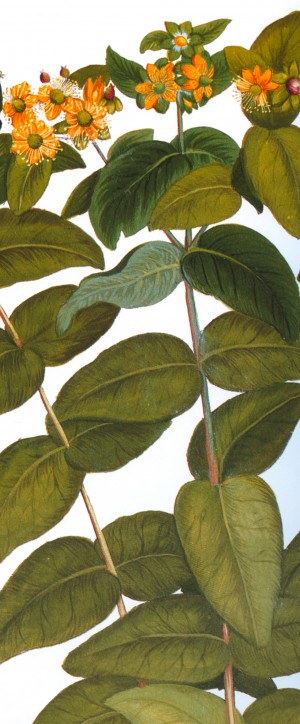 Hypericum perforatum. Etching from the 17th Century Hortus Eystettensis